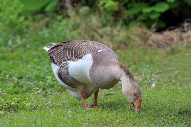 L'oca grigia sta mangiando l'erba nel giardino dell'azienda agricola della natura in tailandia