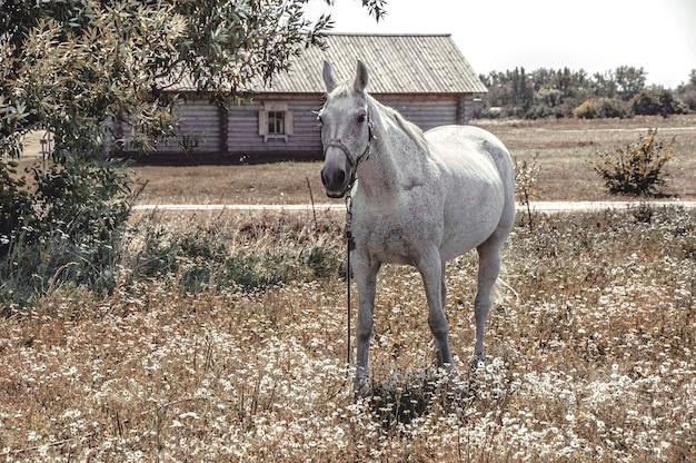Il cavallo grigio pascolava su un campo.