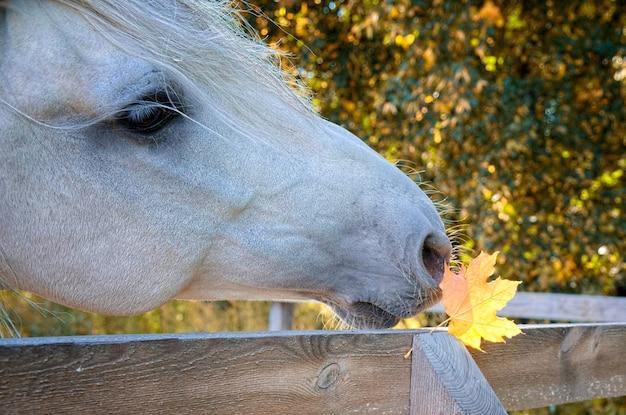 Cavallo grigio con foglia d'autunno giallo