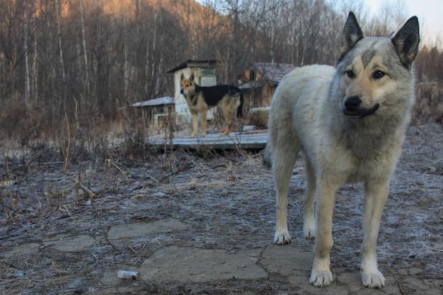 Un cane da caccia grigio sta nel cortile in una gelida mattina di primavera, sotto le zampe giace il bossolo esaurito e un altro cane da caccia