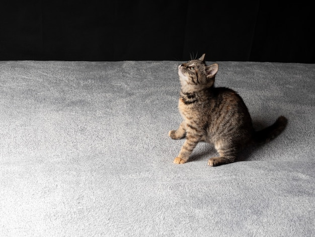Il gattino grigio è seduto e guarda in alto su uno sfondo nero