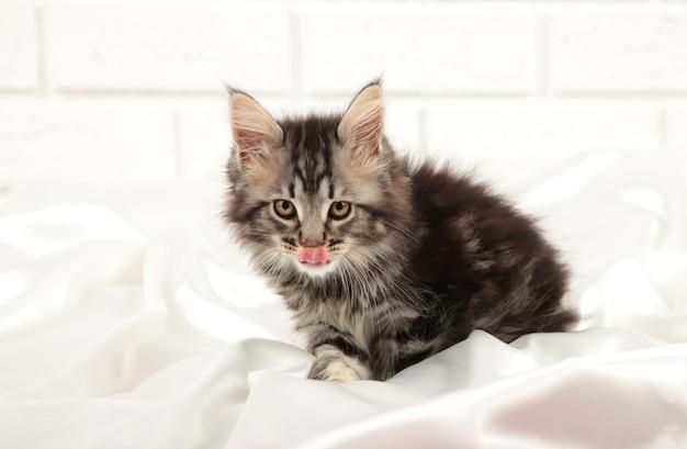 Gattino grigio lecca le labbra su sfondo chiaro. vista dall'alto