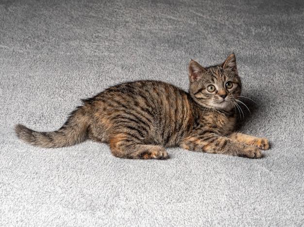 Gattino grigio si trova e guarda in alto su uno sfondo nero