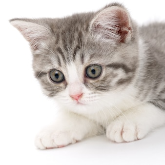 Il gattino grigio si trova su una superficie bianca e guarda di lato. ritratto del gatto scozzese.