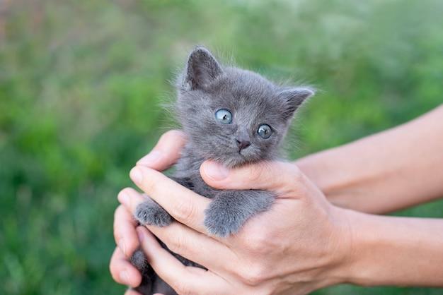 Gattino grigio un mese di età nelle mani. gatto e prato verde all'esterno.