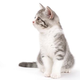 Gattino grigio seduto sulla superficie bianca e guardando al lato. ritratto del gatto scozzese.