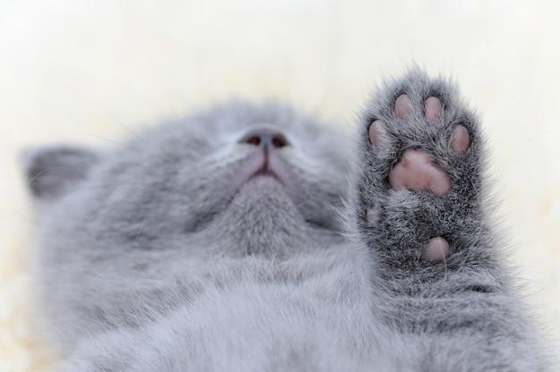 Zampa di piccolo gattino grigio. piede di gatto del bambino