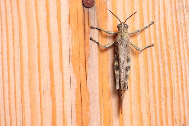Locusta grigia, insetto nocivo che mangia vegetazione