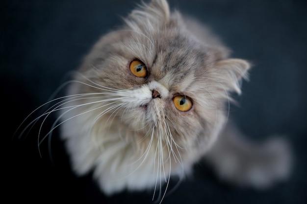 Gatto persiano grigio su sfondo blu scuro.