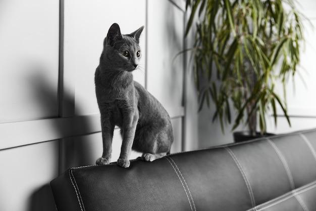 Gatto grigio blu russo seduto su un divano in pelle nera