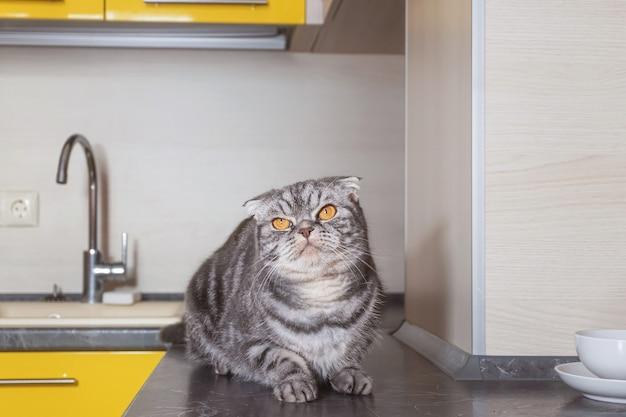 Un gatto grigio scottish fold si siede su un tavolo in cucina. il concetto di svezzamento animali domestici dall'arrampicata sul tavolo.