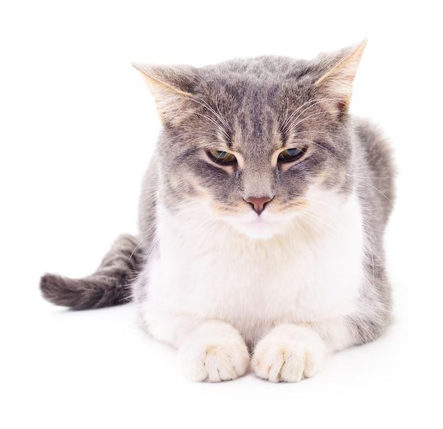 Gatto a strisce grigio isolato su sfondo bianco