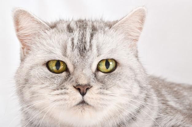 Un gatto a strisce grigie giace su uno sfondo bianco.