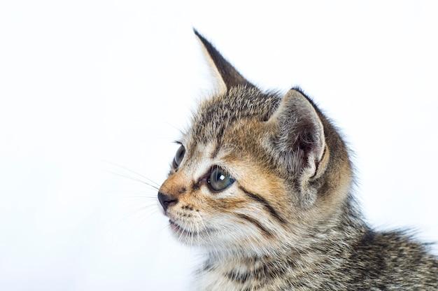 Gattino a strisce grigio su una superficie bianca, piccolo predatore,