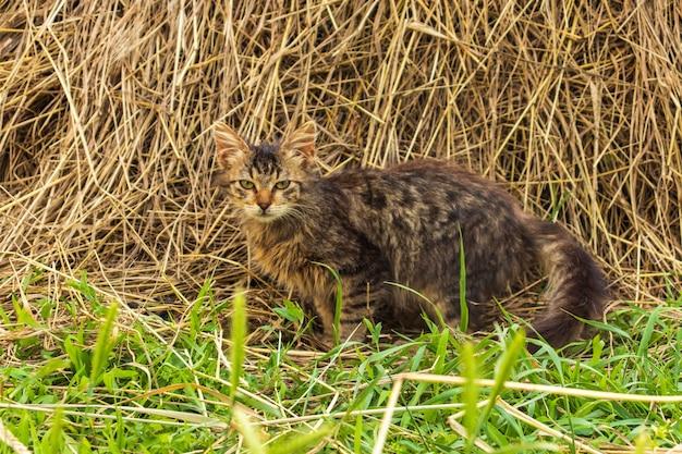 Un gatto soriano grigio giace nel fieno. gatto disabile con tre zampe. la sopravvivenza degli animali.