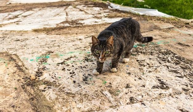 Un gatto randagio tabby grigio si siede sul prato. ritratto di un bellissimo gatto randagio a piede libero.