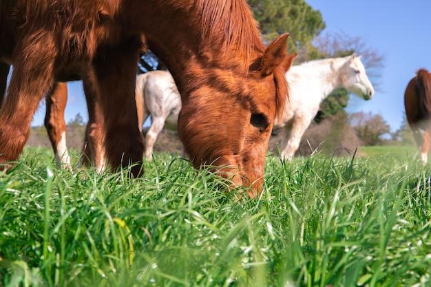 Pascolo del vecchio cavallo marrone senza occhio nel recinto chiuso dell'erba verde durante la primavera accanto ai cavalli selvaggi
