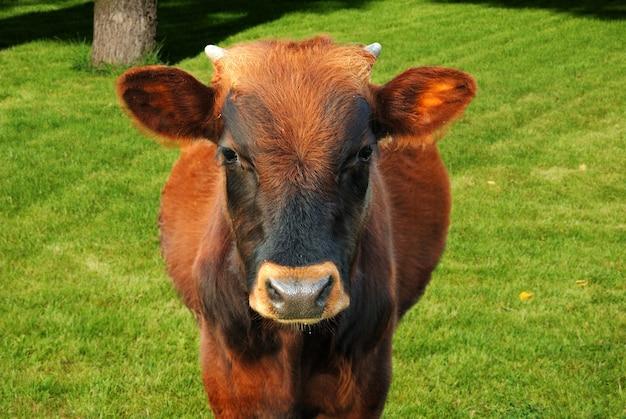 Ritratto all'aperto della mucca al pascolo