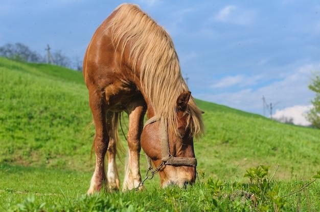 Pascolo del cavallo con la briglia sul fianco di una collina
