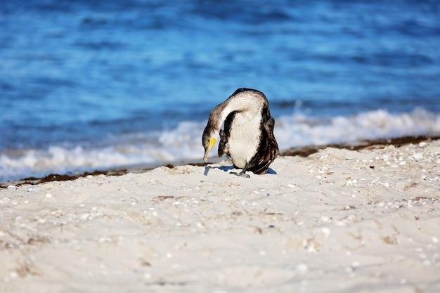 Grande cormorano nero, phalacrocorax carb, pennellate di piume in riva al mare.