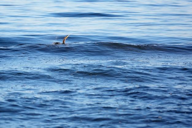 Grande cormorano nero, phalacrocorax carb, caccia i pesci in mare. messa a fuoco selettiva morbida