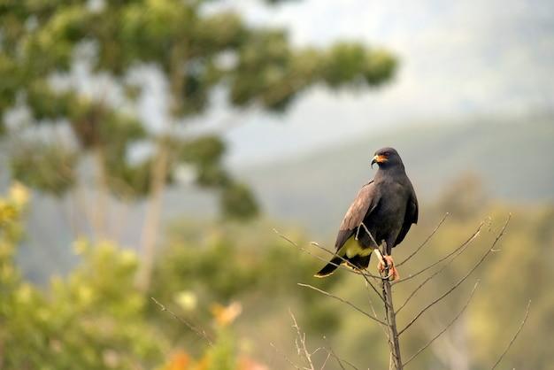 Grande falco nero, urubitinga urubitinga o gaviao preto, in portoghese, appollaiato in cima a rami secchi. stato di san paolo, brasile