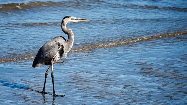 Uccello dell'airone di grande blu che cammina sulla sabbia a san diego