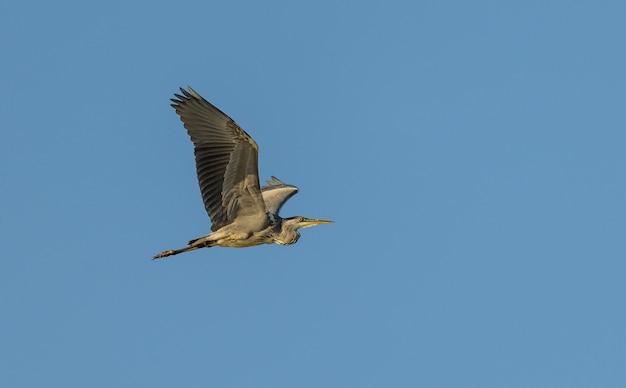 Airone cenerino in volo sul cielo blu, selvaggio
