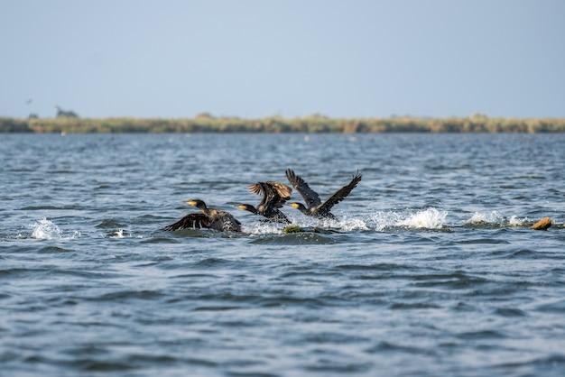 Grandi cormorani (phalacrocorax carbo) nel delta del danubio
