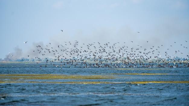 Cormorani (phalacrocorax carbo) in volo nel delta del danubio