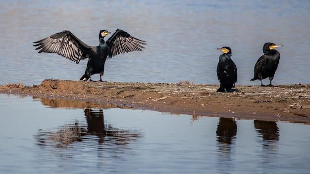 Grandi cormorani sulla riva del fiume