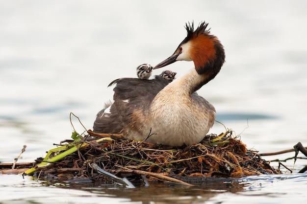 Madre dello svasso maggiore che alimenta i cuccioli sull'acqua in primavera.