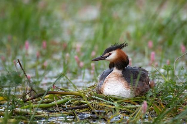 Svasso maggiore, podiceps cristatus, uccello acquatico seduto sul nido