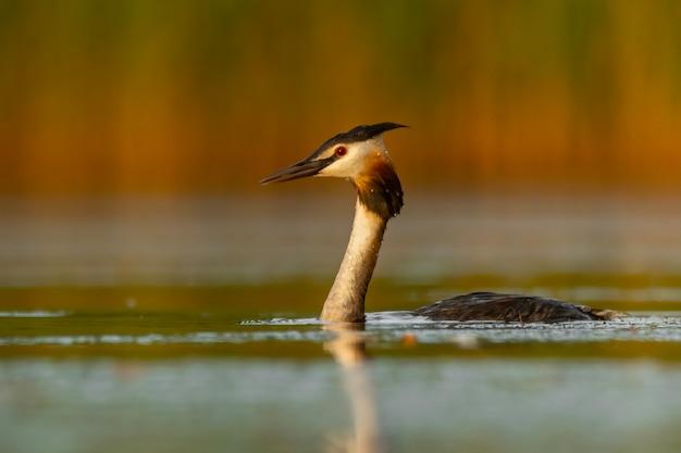 Svasso maggiore che nuota su un bellissimo lago