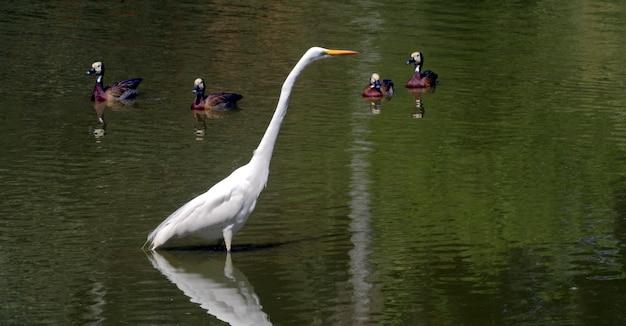 Grande pesca dell'airone nel lago basso