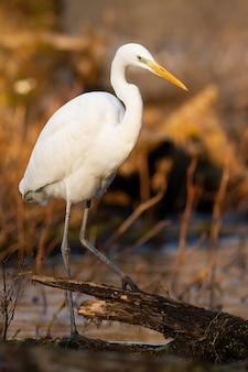 Airone bianco maggiore che caccia in acqua nel colpo verticale soleggiato sunny