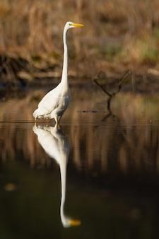 Airone bianco maggiore che guada in acqua in autunno con la riflessione