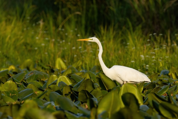 Airone bianco maggiore in attesa di pesci nelle zone umide nel tramonto estivo