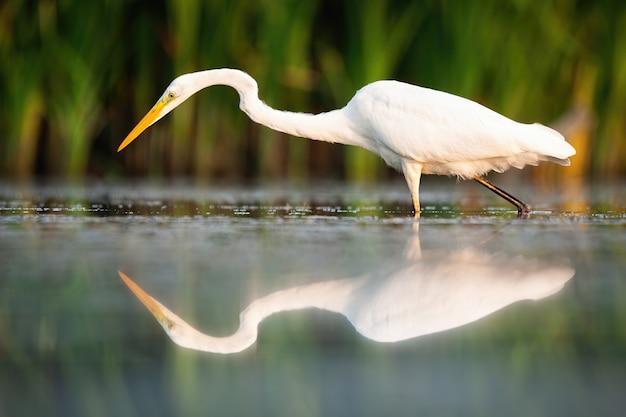 Airone bianco maggiore che cammina nella zona umida nella natura estiva