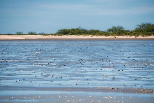 Aironi bianchi in cerca di cibo sul fango marino durante il periodo di bassa marea a thale waek di laem phak bia, provincia di phetchaburi, thailandia.