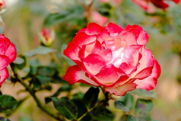 Grande varietà di gala di rose rosse e bianche coltivate nel roseto di palermo a buenos aires. piante ornamentali