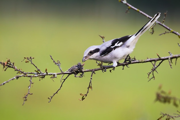 Grande shrike grigio che si siede su un ramoscello con il topo infilzato sulla spina di estate