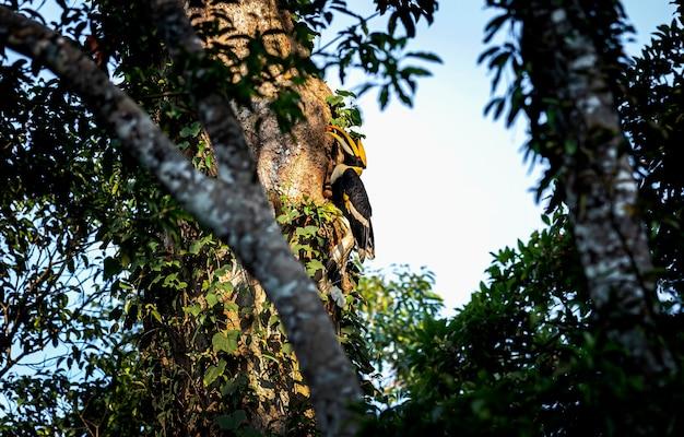 Grande buceros buceros bicornis nella foresta pluviale
