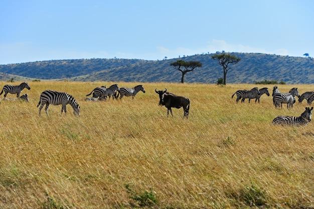 Grande migrazione di gnu nel masai mara