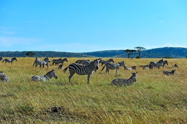 Grande migrazione di zebre nel masai mara