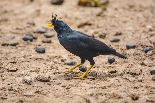 Great myna o whitevented myna un singolo uccello nero in cerca di cibo per terra