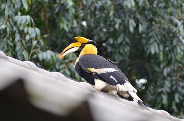Grande bucero pezzato nella natura, tailandia