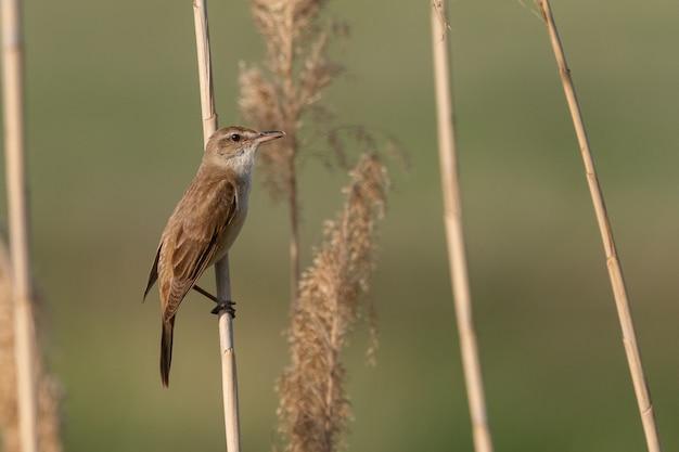 Great reed warbler. l'uccello si siede su una canna nell'habitat. acrocephalus arundinaceus.
