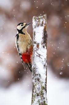 Picchio rosso maggiore arrampicata su albero durante la nevicata.