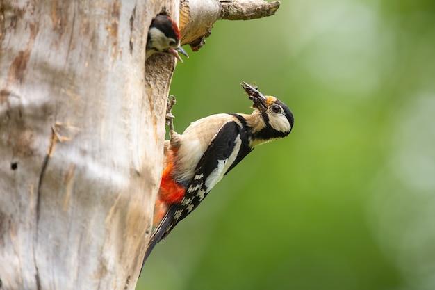 Picchio rosso maggiore che nidifica all'interno di un albero nella natura primaverile
